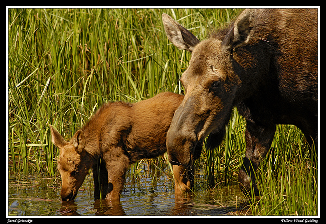 moose and calf drink author gricoskie jared