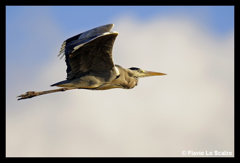 ardea cinerea grey heron author lo scalzo flav flavio