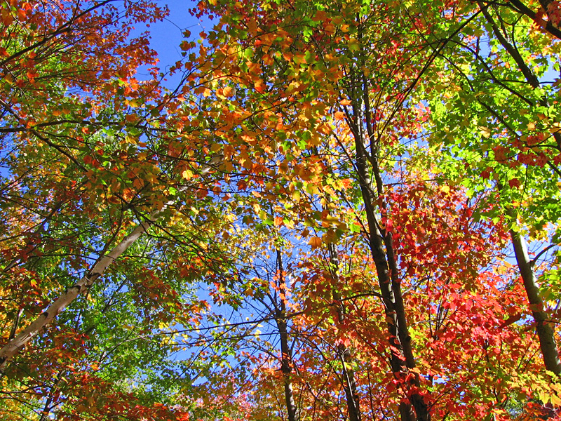 autumn leaves in gatineau park author ilnyckyj mi milan
