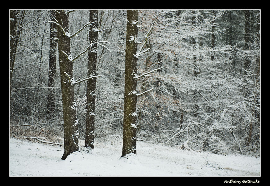 snow in the forest author gutowski anthony