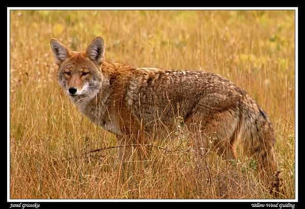 coyote author gricoskie jared