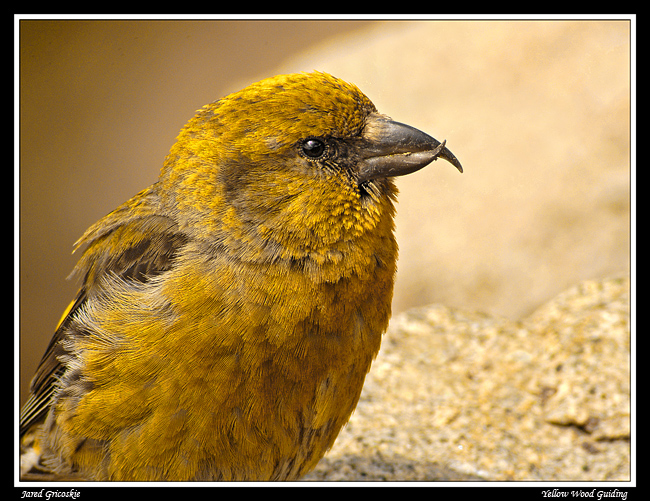 red crossbill portrait author gricoskie jared