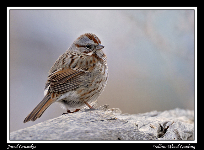 song sparrow author gricoskie jared