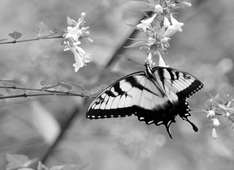 madame butterfly b w author kelly landrum