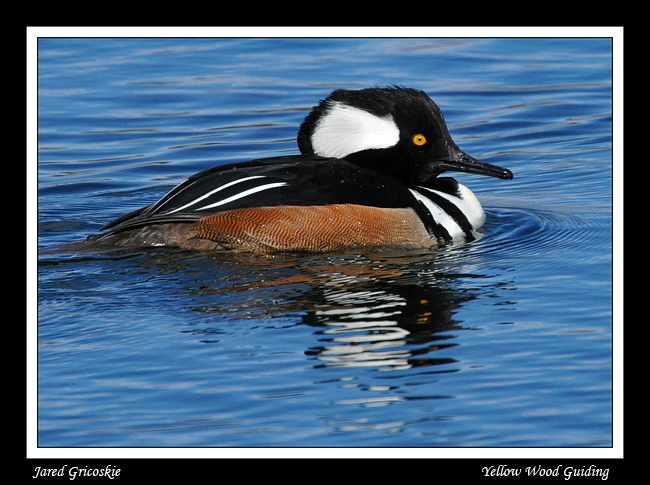 hooded merganser male author gricoskie jared