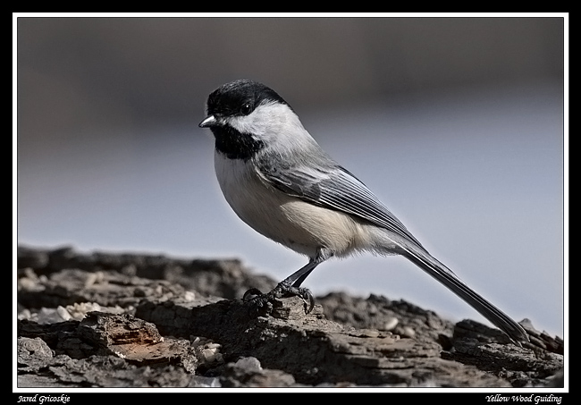 black capped chickadee author gricoskie jared