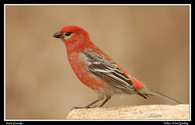 pine grosbeak male author gricoskie jared