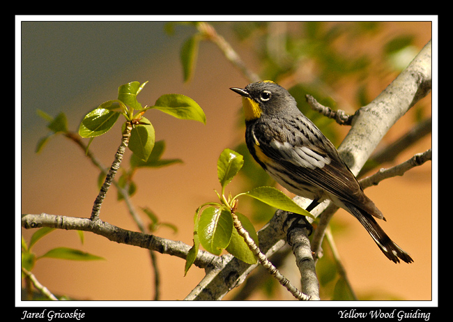 yellow rumped warbler author gricoskie jared