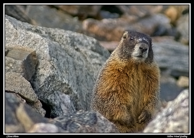 yellow bellied marmot author gricoskie jared