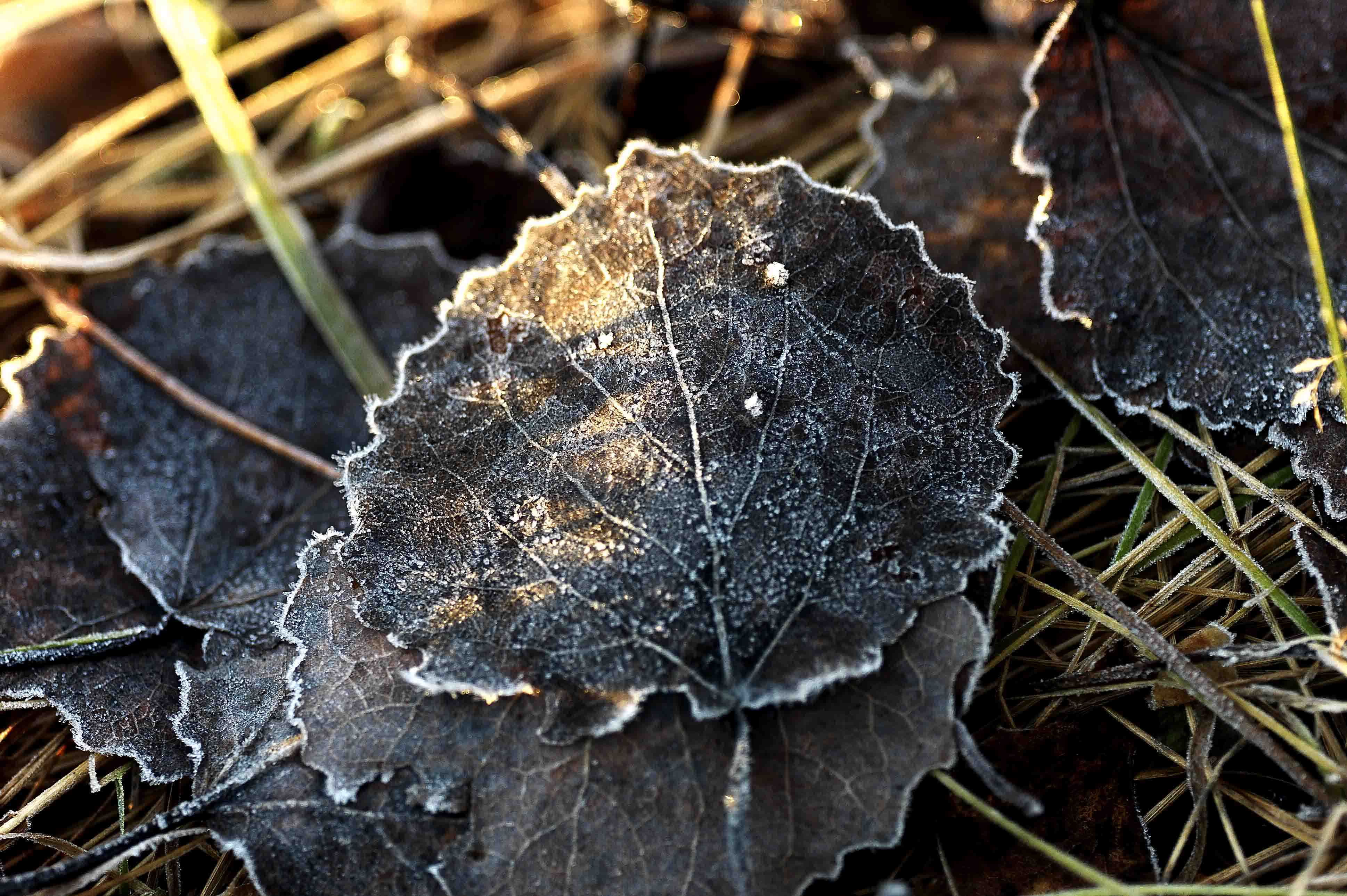 leaves in sunset after a frosty day author soini hannu