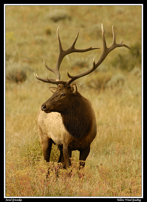 bull elk x profile author gricoskie jared