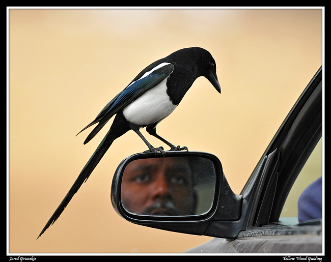 magpie eye to author gricoskie jared