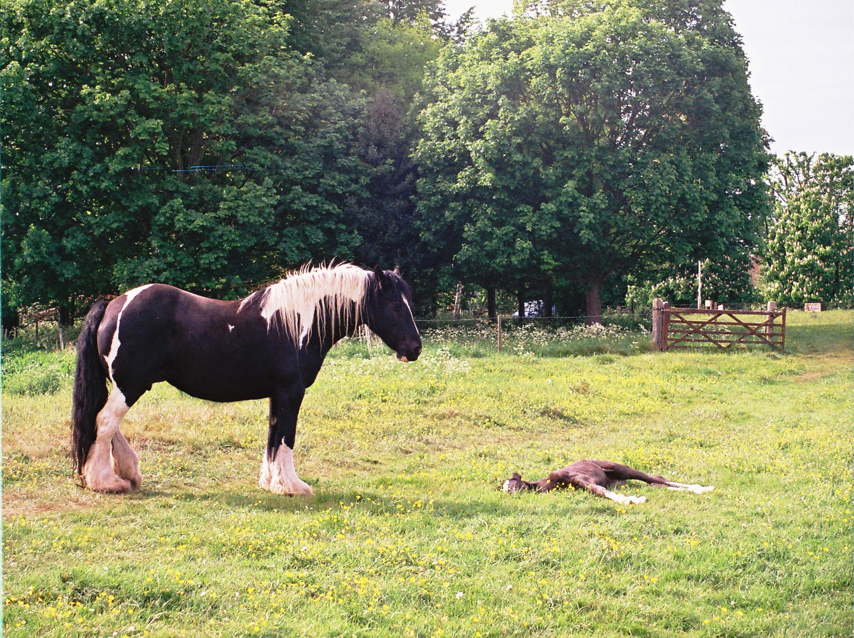 horse and foal at boxmoor author rance ian