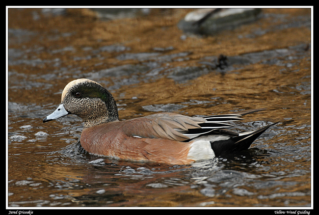 american wigeon author gricoskie jared