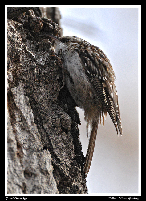 brown creeper author gricoskie jared