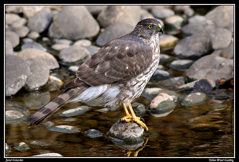 coopers hawk on a rock author gricoskie jared