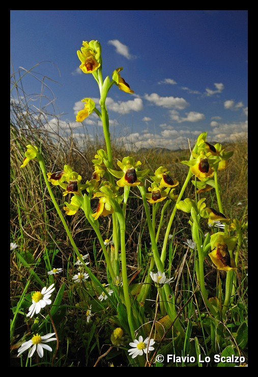 ophrys lutea author lo scalzo flavio