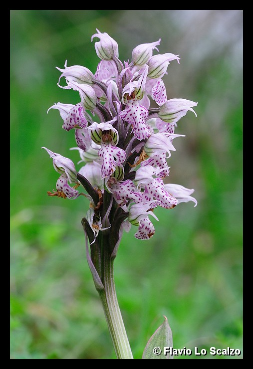 orchis lactea author lo scalzo flavio