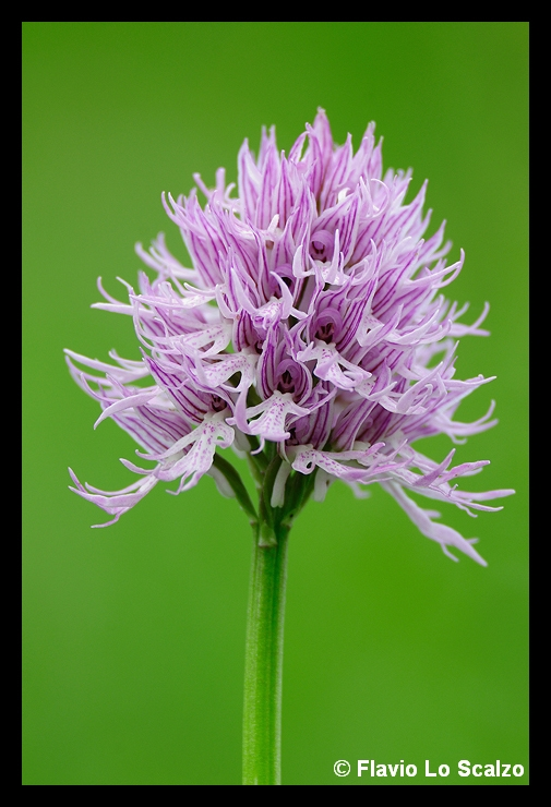 orchis italica author lo scalzo flavio