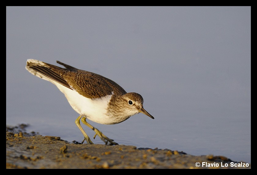 actitis hypoleucos common sandpiper author lo scalzo flavio