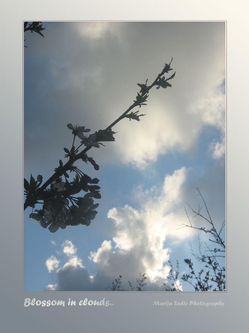 blossom in clouds author tadic maria