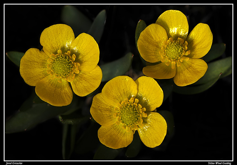 early buttercup trio author gricoskie jared