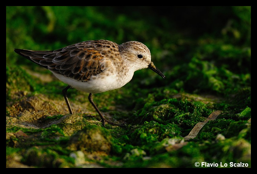 calidris minuta little stint author lo scalzo flavio