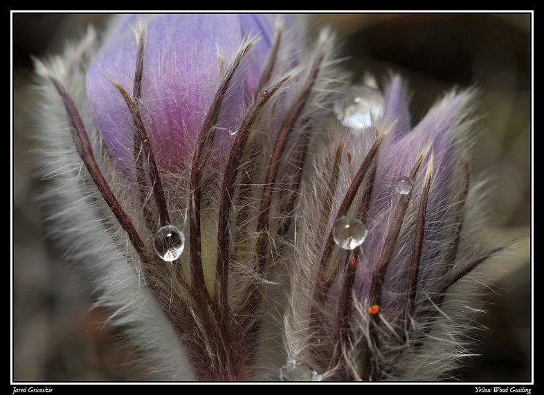 pasque flower close up by jeannie may author gric gricoskie jared