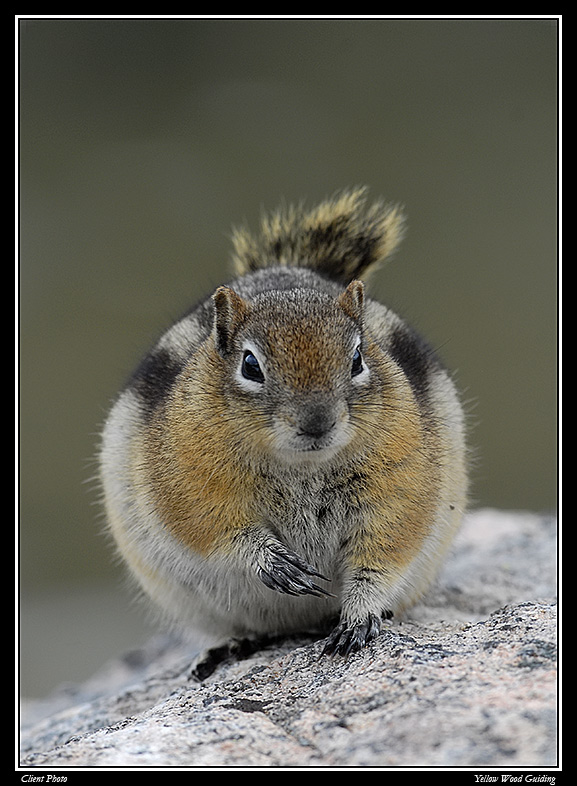 golden mantled ground squirrel by tom may author gricoskie jared