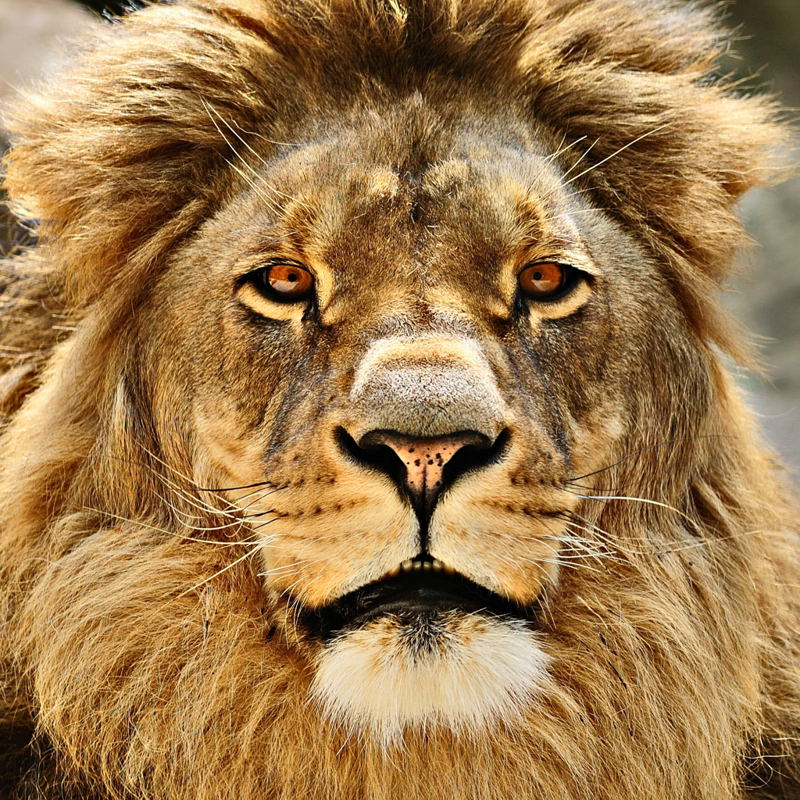 lion s stare author arnold wolfgang