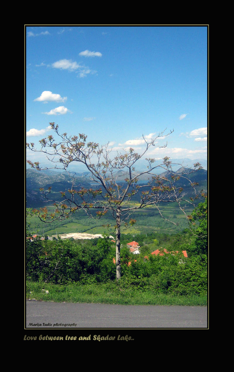beautiful lonely tree that is spreading its leaves tadic maria
