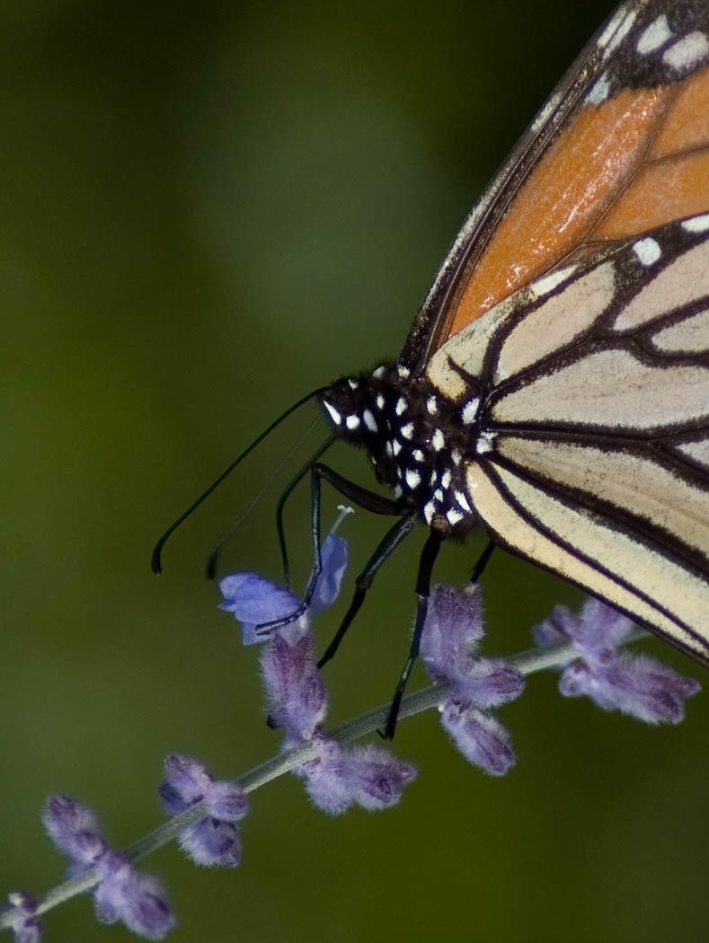 monarch on caryopteris author scherer kevin