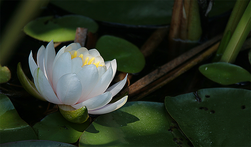 white water lily author sava gregory and verena