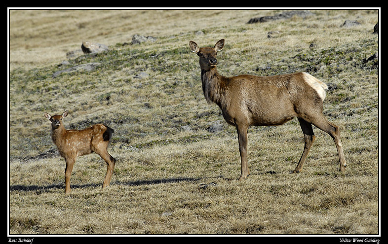 elk and calf by ross buhdorf author gricoskie jar jared
