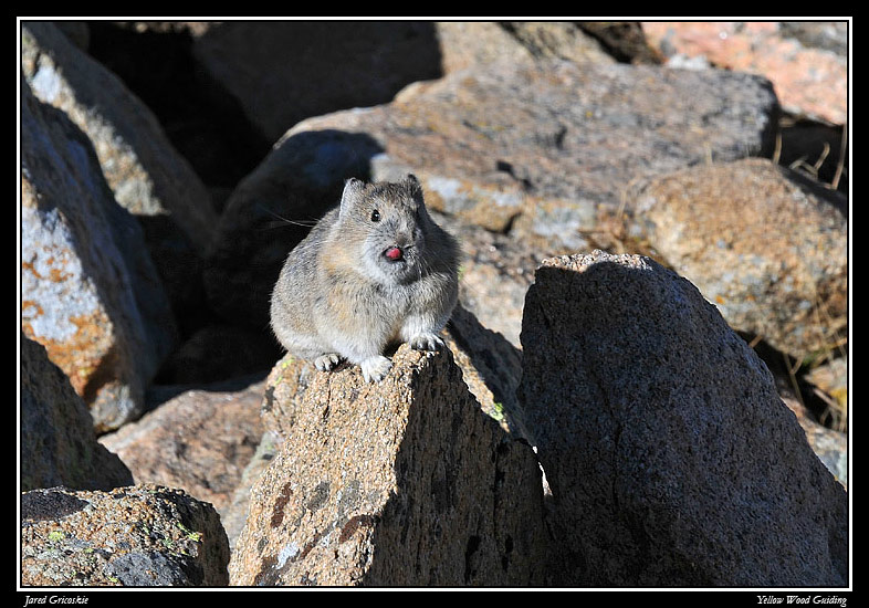 american pika nose pick by greg buhrdorf author g gricoskie jared