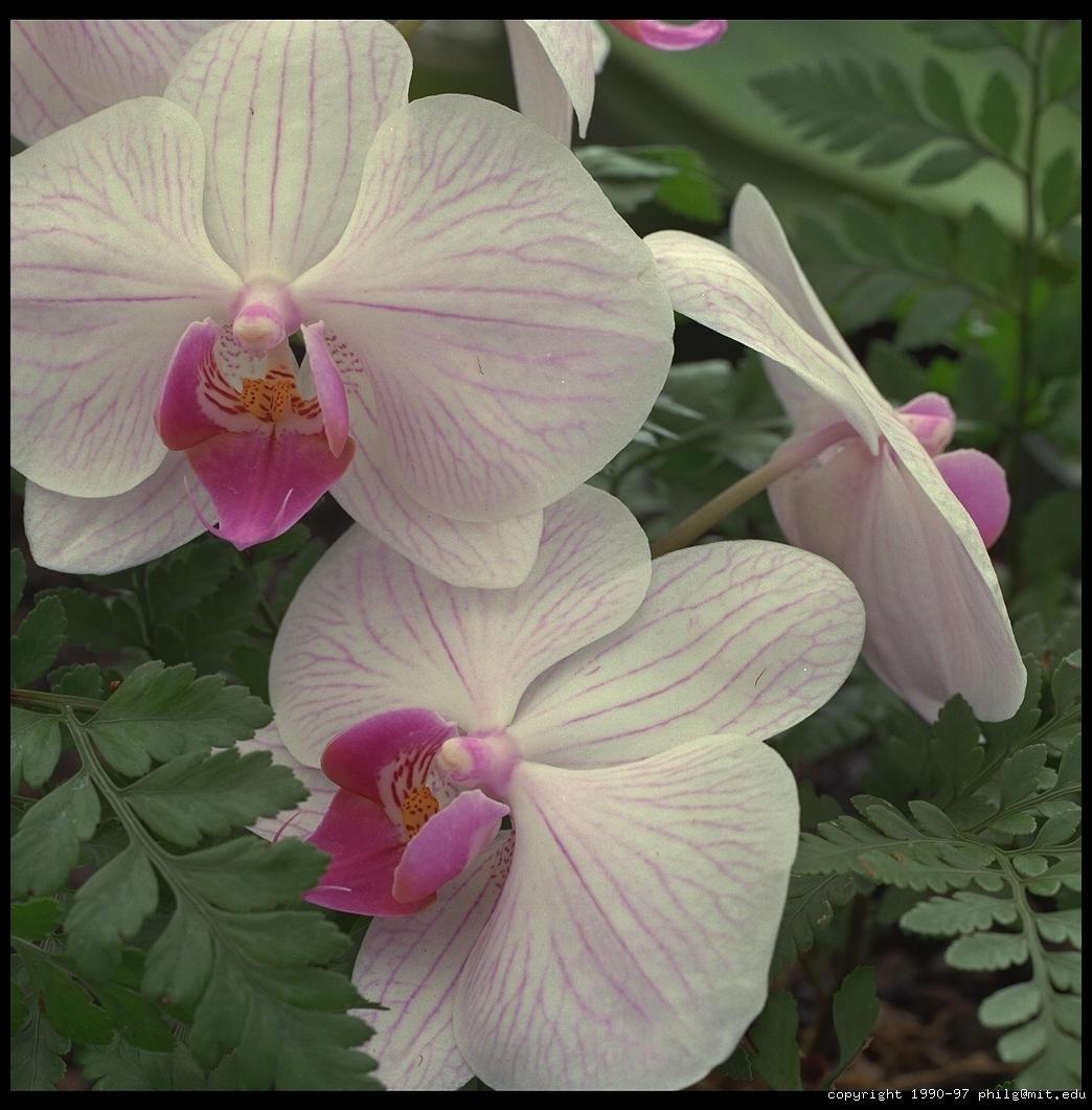 orchids in hilo hawaii author greenspun philip