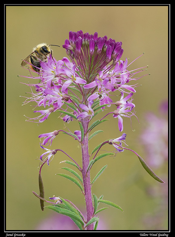 bee on rocky mountain plant author gricoskie jared