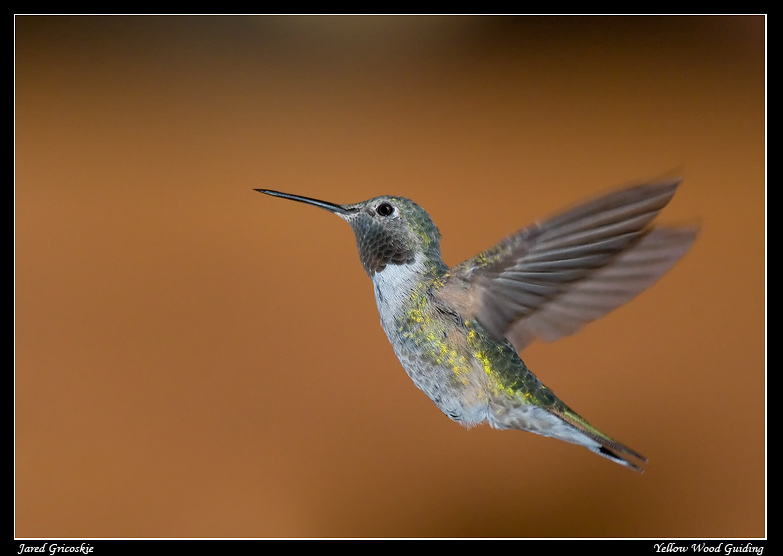 broad tailed hummingbird male in flight author gr gricoskie jared
