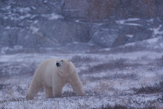 polar bear in snowstorm at hudson bay canada auth hicker rolf