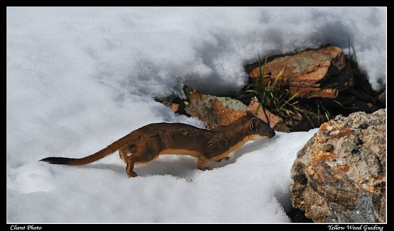 long tailed weasel by mike petcher author gricosk gricoskie jared