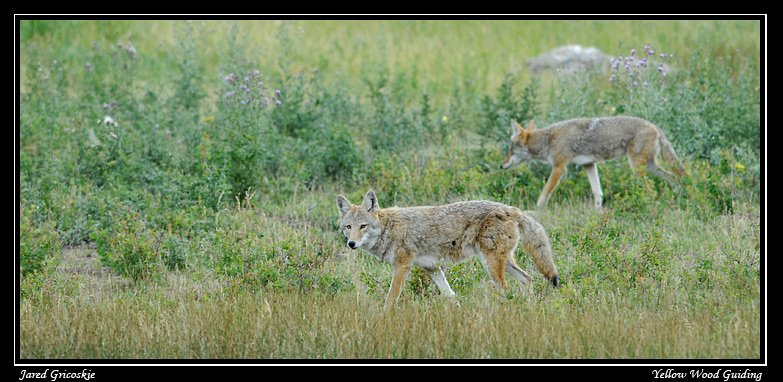 coyotes by mike petcher author gricoskie jared