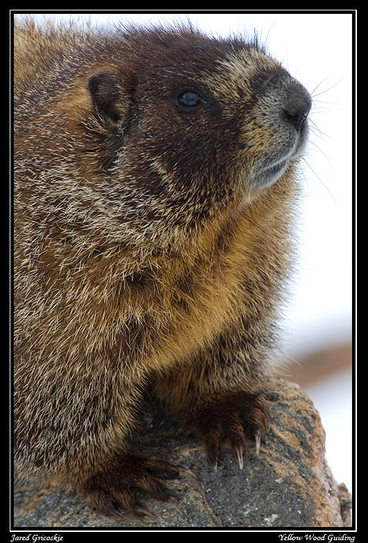 yellow bellied marmot close up author gricoskie j jared