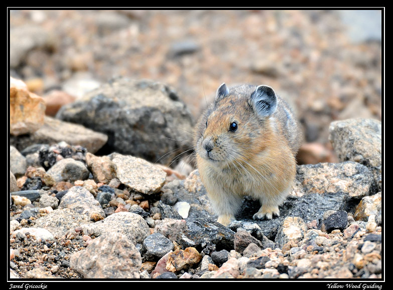 american pika author gricoskie jared