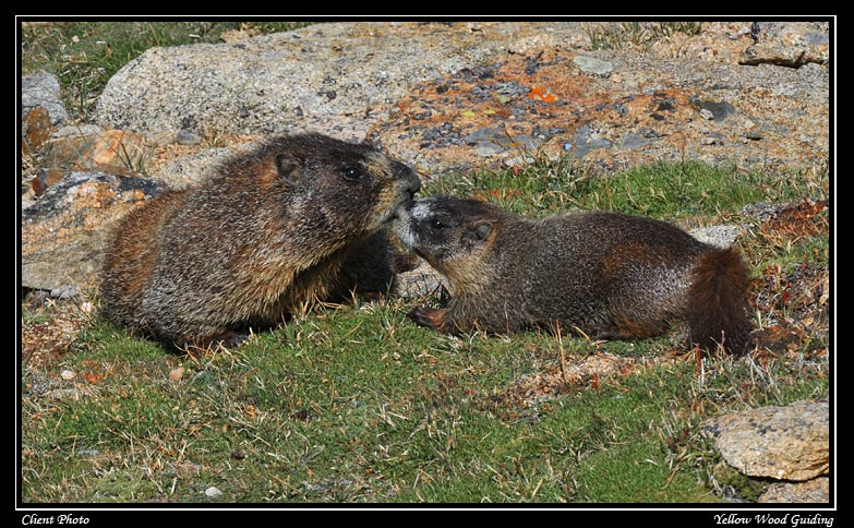 marmot kiss by nate ivanick author gricoskie jare jared