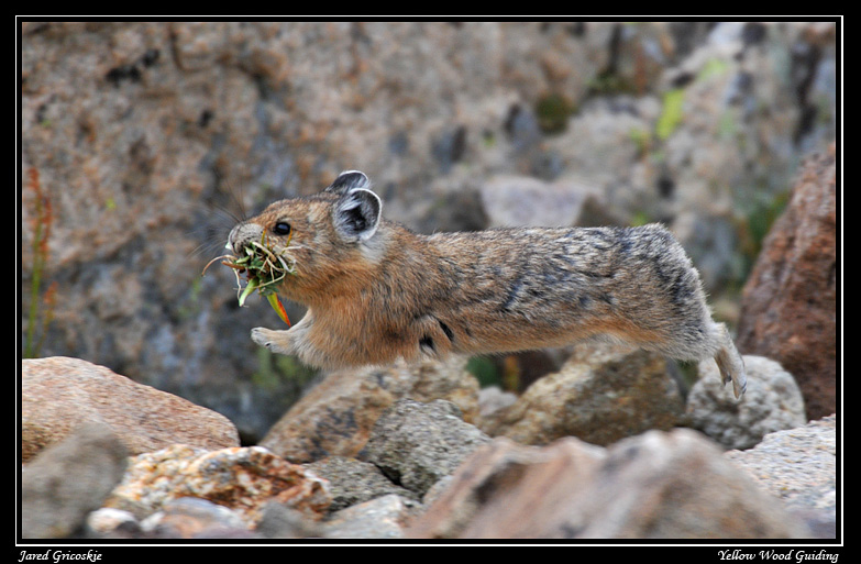 flying american pika author gricoskie jared