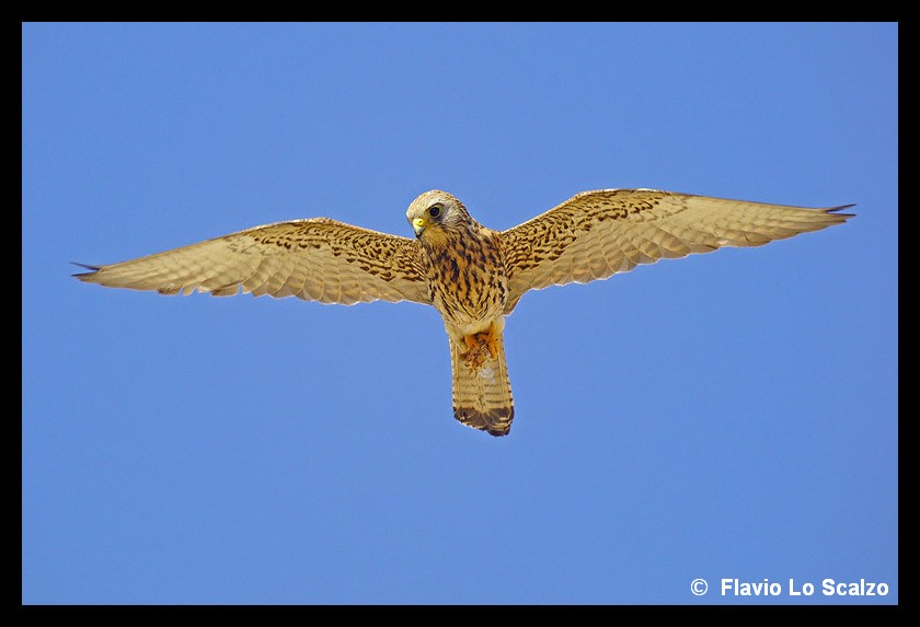 falco naumanni lesser kestrel author lo scalzo flavio