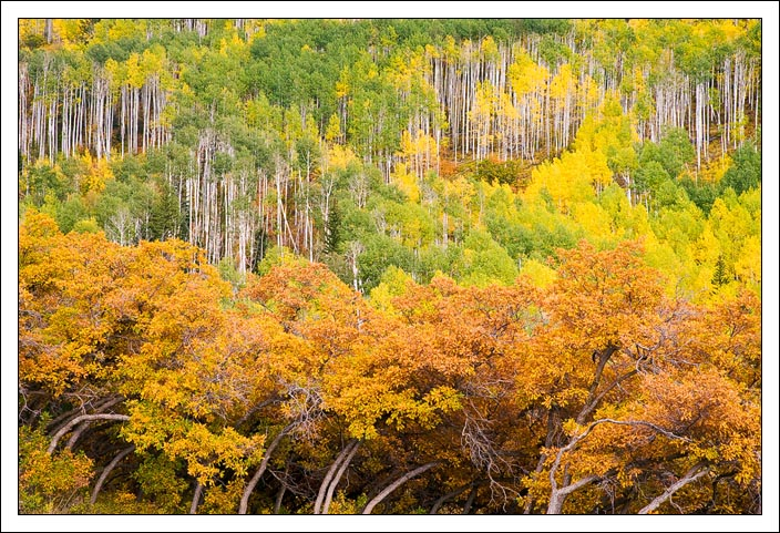 scrub oak and aspen trees in the la sal mountains edge bret