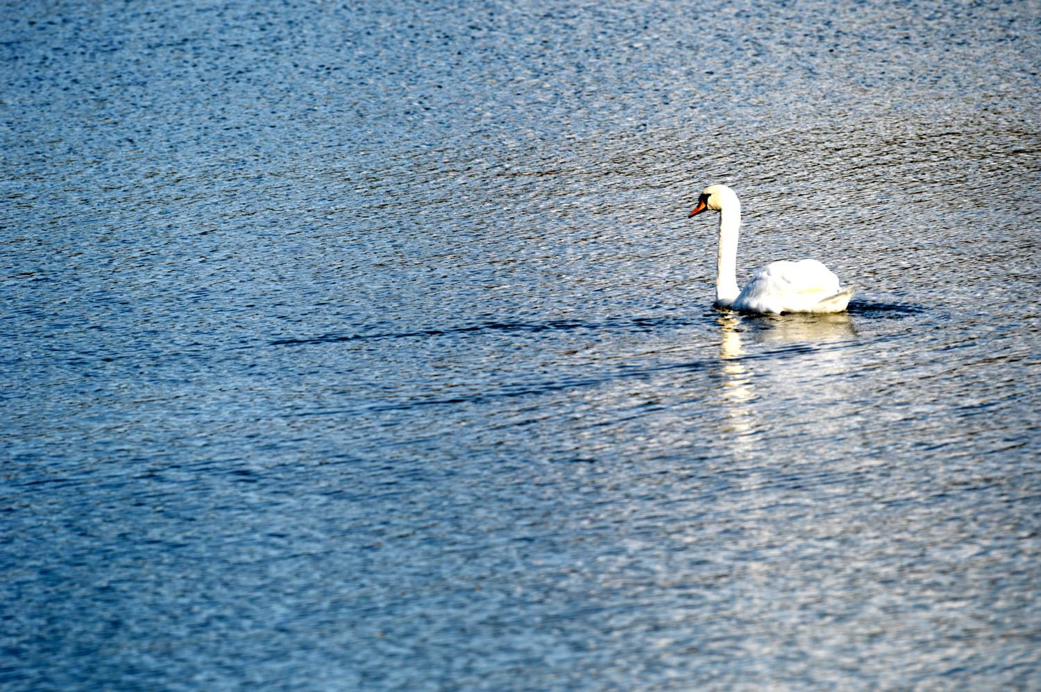 swan enjoying the life in city author soini h hannu