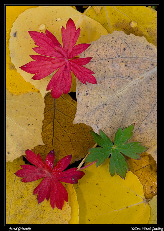 aspen leaves author gricoskie jared