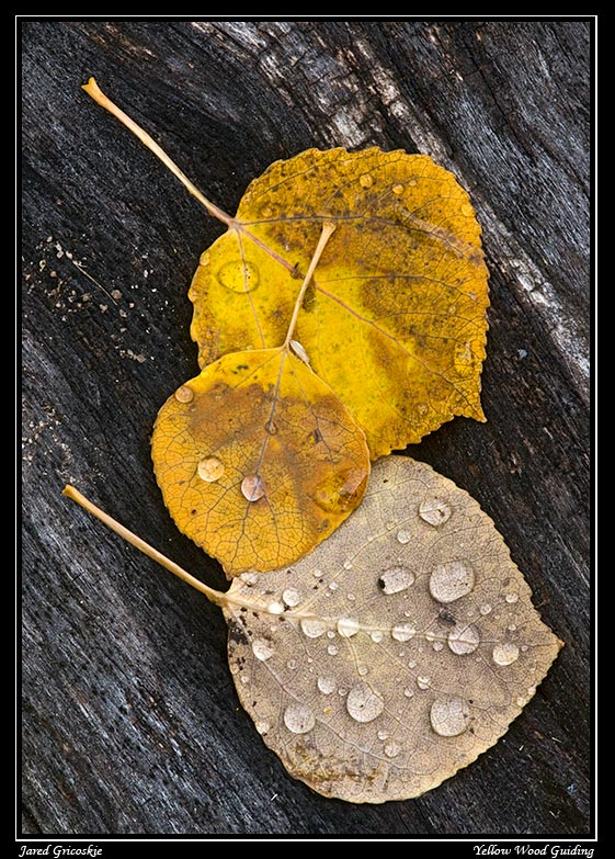 aspen leaves trio author gricoskie jared